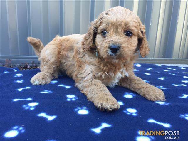 4 Cavoodle Puppies