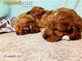 Ruby Cavoodle Puppies (Cavalier King Charles Spaniel X Toy Poodle) (NSW)