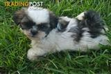 Maltese  x  shihtzu puppy
