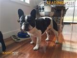 *PROVEN French Bulldog Super Stud. Comprehensive semen analysis available