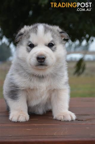 Find puppies for sale in NSW, Australia