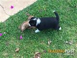 3 male purebred border collie pups