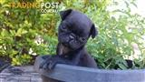 Black and Fawn Pure Bred Pug Puppies bred to be extra small -- so Cute!!!