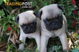 Pure Bred Pug Puppies are Pure Bundles of Love!