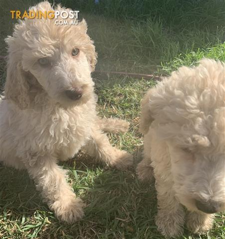 Standard-Poodle-Puppies
