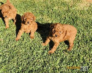 Find puppies for sale in WA, Australia