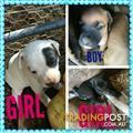 Johnson bulldog x staffy pups