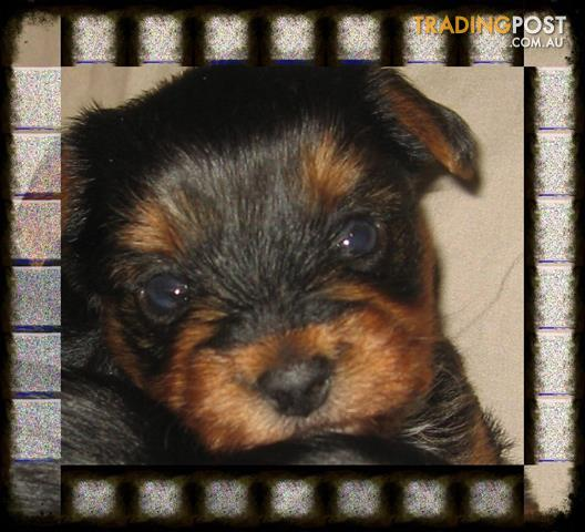Pure Yorkshire Terrier Puppies for Sale - Males Only