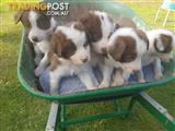 Stellar litter of eight-week old pure bred Border Collie pups