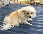 Find Pomeranian puppies for sale in Australia