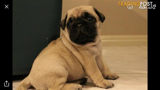 Gorgeous Pure Bred Pug Puppies