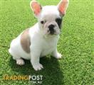French bulldog puppies ready to go this weekend!