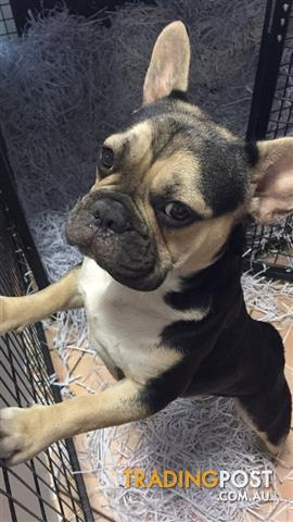 Black And Tan French Bulldog Stud
