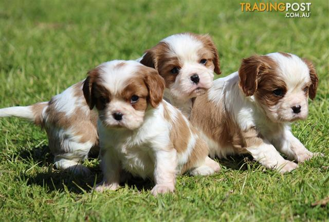 cavalier king charles | Find classifieds in VIC, Australia
