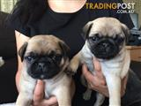 Adorable Pure-bred Pug Puppies Ready for a Good Home!