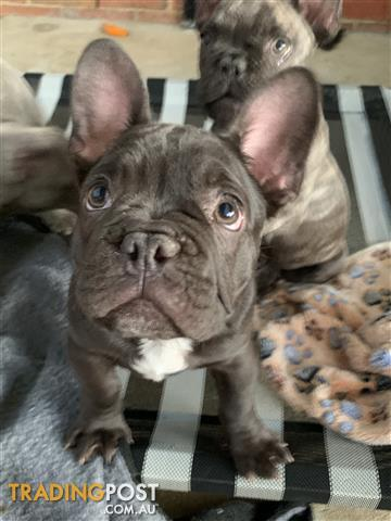 French Bulldog Find Classifieds In Vic Australia
