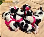 Beautiful Top Quality Beaglier Puppies