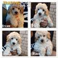 TOY POODLE PUPPIES For Sale Woolgoolga NSW