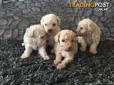 TINY TOY POODLE PUPS FOR SALE