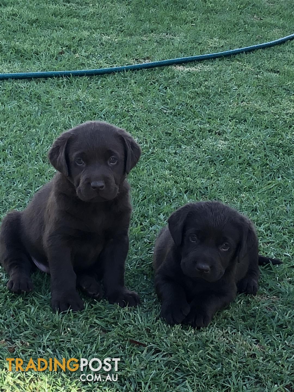 Labrador puppies for sale in echuca vic labrador puppies send message solutioingenieria Choice Image