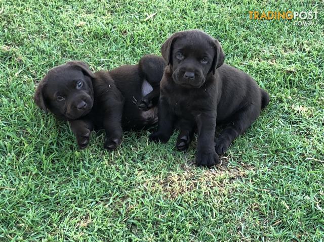Labrador puppies for sale in echuca vic labrador puppies labrador puppies solutioingenieria Choice Image