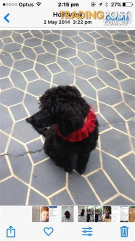7 Gorgeous Pure bred Standard poodle puppies