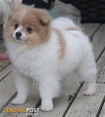 Find Pomeranian puppies for sale in Australia