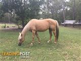 Registered Palomino Quarter horse mare
