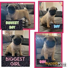 Find Pug puppies for sale in Australia