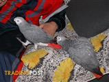 Lovely African Grey Parrots