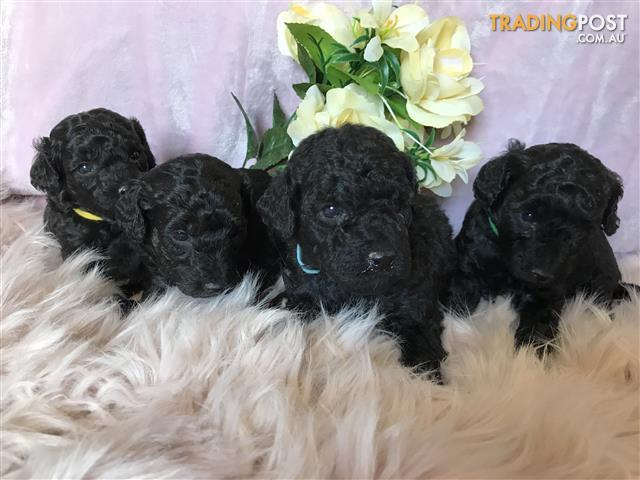 Toy Poodle Find Classifieds In Nsw Australia