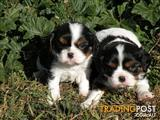 King Charles Cavalier Puppies for sale (purebred)