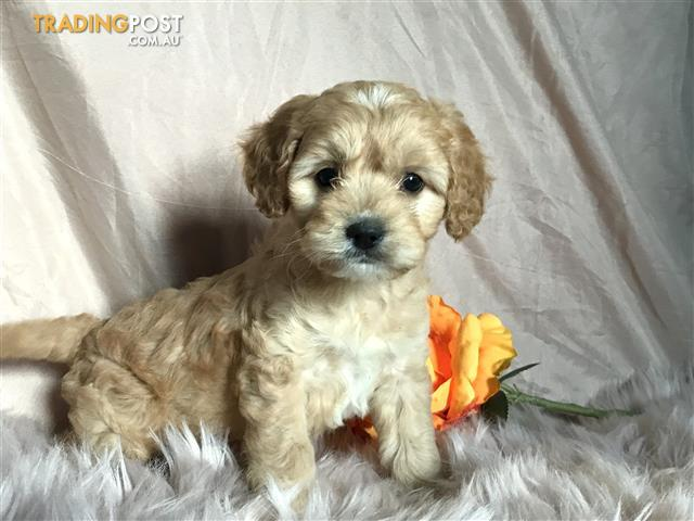 Beautiful Cavoodle Puppy for Sale