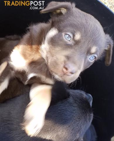 Red-Tan-Kelpie-Puppy