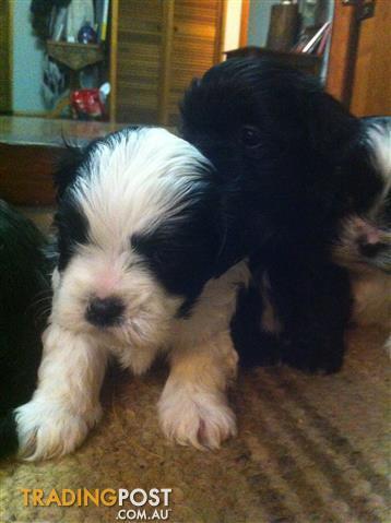 Maltese x shihtzu puppies