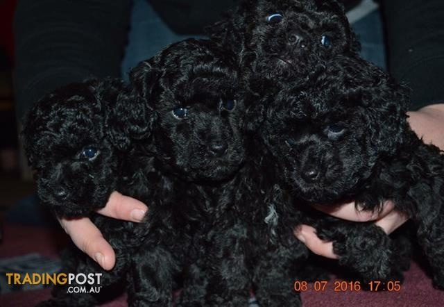 Pure Bred mini-toy poodles