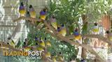 gouldians finches