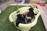 PURE BRED PUG PUPPIES FOR SALE
