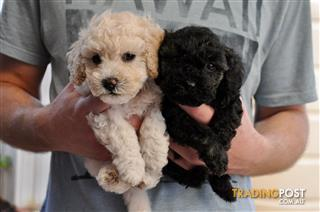 Find puppies for sale in SA, Australia