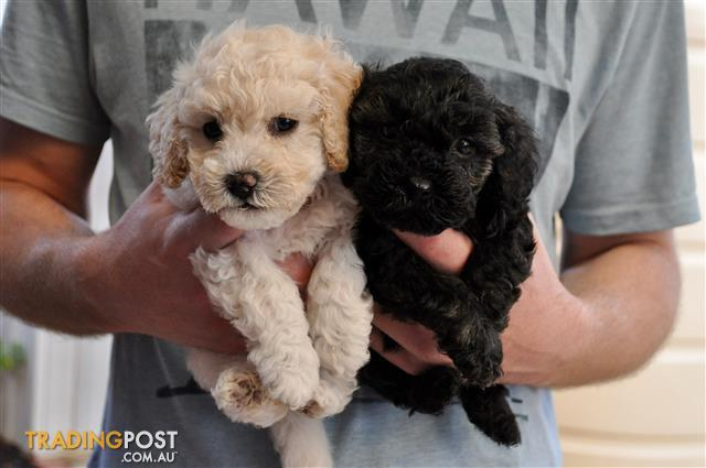 Adorable Toy Poodle X Maltese Puppies For Sale
