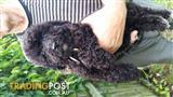 chocolate and black toy poodle