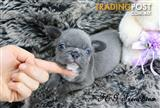 French Bulldog Puppies, Blue Frenchies!