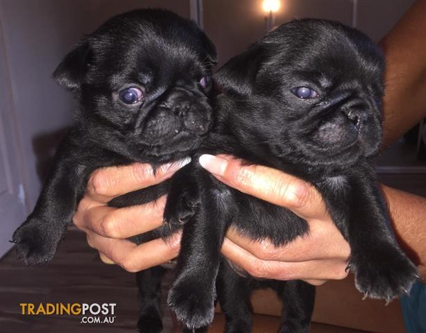 Pug Puppies Pure Bred
