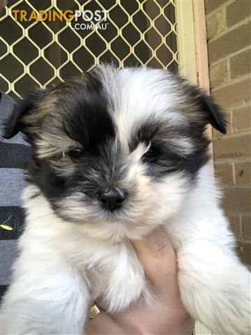 Maltese-X-puppy-for-sale
