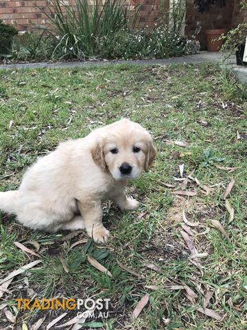 Pure Breed Golden Retriever Puppies For Sale