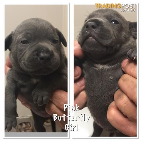 Purebred Blue English Staffy Pups For Sale