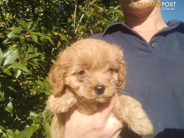 Walnut First Generation Toy Cavoodle Puppy