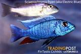 Electric Blue.....+15 other types of stunning African Cichlids!