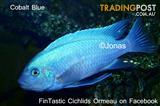 Cobalt Blues......+15 other African Cichlids direct from breeder