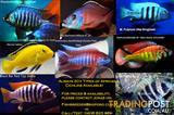 African Cichlids.....15+ types. Buy direct from breeder!